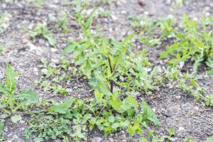 Weeds parasites pests, dandelion, in lawn grass before herbicide, weedkiller, weed whacker