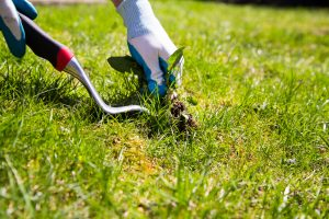 A garden gloved hand manually pulls a weed from the grass with the help of a weed pulling tool.