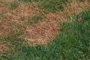 Grass with brown spots from grub damage