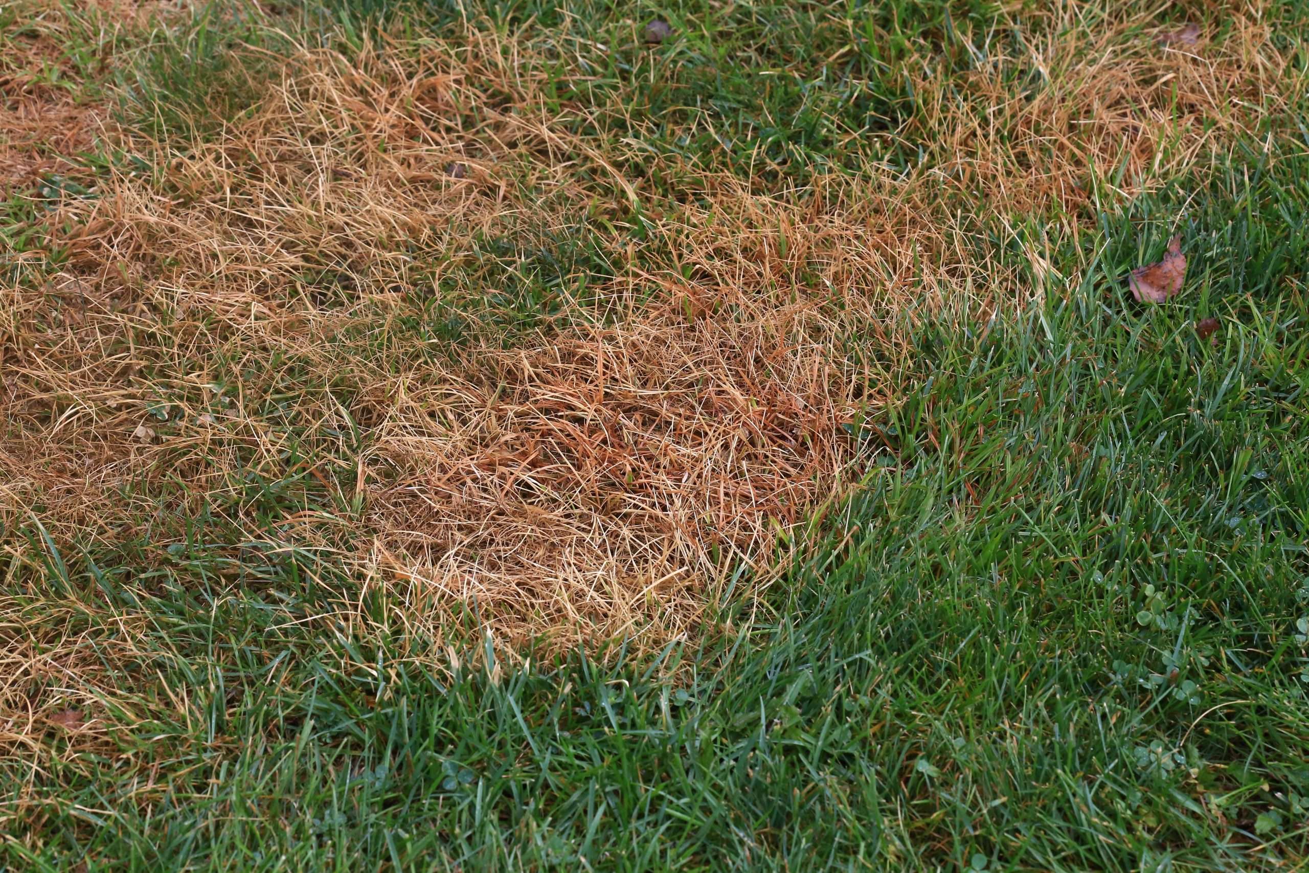 Why are there Brown Spots in my Lawn?