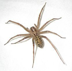 Hobo spider image