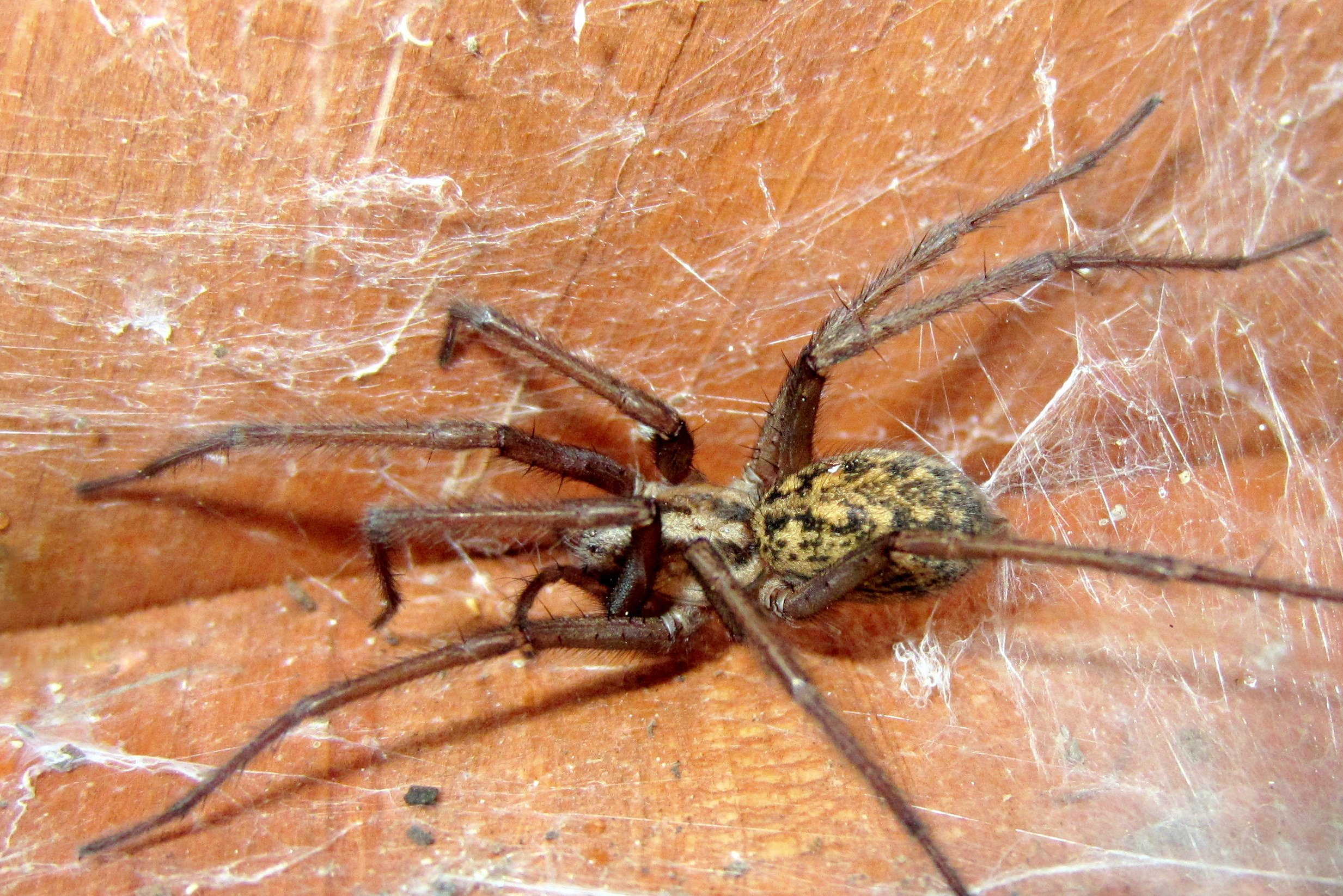 How To Identify Hobo Spiders And Eliminate Them In Your Home