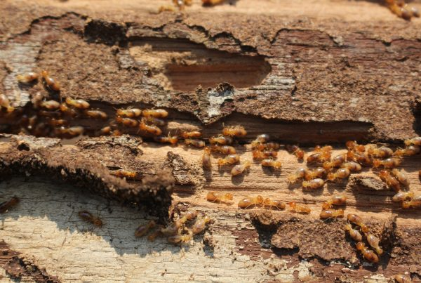 termites in Idaho