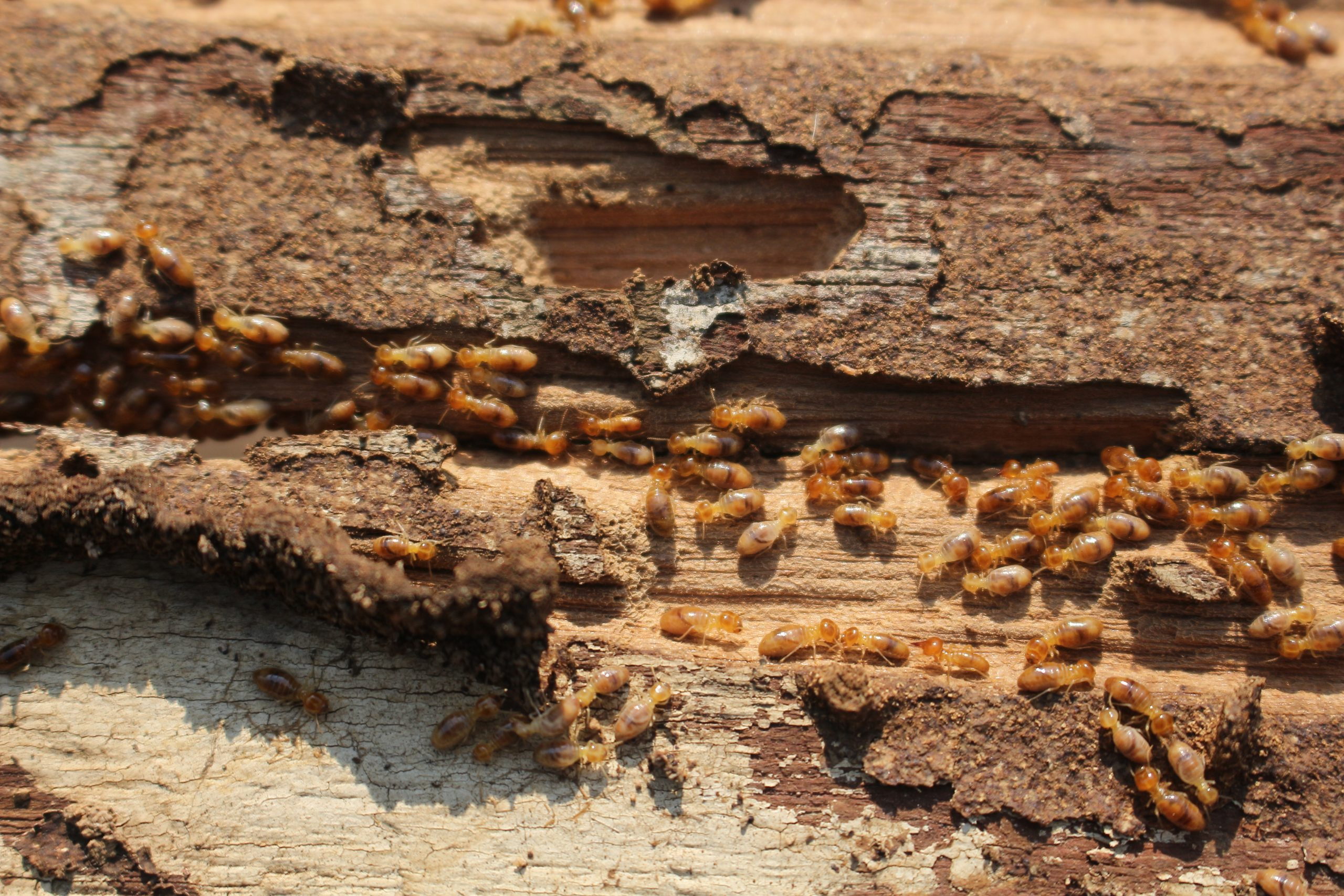 Termites In Idaho
